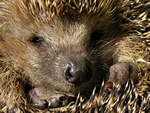Hedgehog (Erinaceus europaeus)